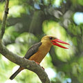 Female brown winged kingfisher beautiful pelargopsis amauroptera posting on a branch found in the south of Royalty Free Stock Photos
