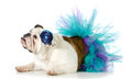 Female bulldog wearing a tutu isolated on white background Stock Image
