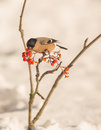 Female Bullfinch feeding on berries Royalty Free Stock Photos