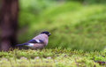 Female bullfinch on moss a eurasian pyrrhula pyrrhula feeds a covered ground looking for small seeds Stock Photo