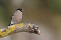 Female Bullfinch on the mossy branch in wintertime Royalty Free Stock Photography