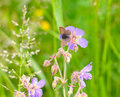 The female butterfly blues argus on a flower of field geranium plebejus pratense Stock Photo