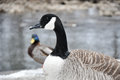 Female canadian goose stands before a creek in foreground male mallard and can be seen in the background snow on the ground Royalty Free Stock Images