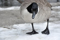Female canadian goose stands before a creek standing on melting snow Stock Image