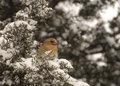 Female cardinal in a blue spruce tree Royalty Free Stock Image