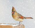 Female cardinal a closeup photo of a femake bird in a winter snow strom Royalty Free Stock Image