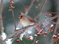 Female cardinal in snowstorm Royalty Free Stock Photo