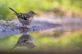 Female chaffinch drinking water fringilla coelebs from a pool in an ecological natural garden with green background Royalty Free Stock Photo