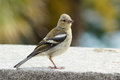 Female chaffinch on a wall young garden Royalty Free Stock Photos