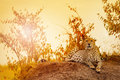 Female cheetah laying on sunset at Kenyan savanna Royalty Free Stock Photo