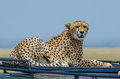 Female cheetah on roof Stock Images