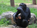 Female chimpanzee with her baby Royalty Free Stock Photo