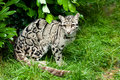 Female Clouded Leopard Sitting Under Bush Stock Photo
