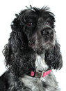 Female cocker spaniel isolated on white background blue roan with pink collar Stock Images