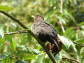 Female Common Blackbird Sunbathing - Turdus merula