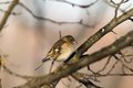 Female common chaffinch on branch fringilla coelebs Royalty Free Stock Images