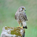 Female Common Kestrel Royalty Free Stock Photo
