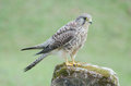 Female Common Kestrel (Falco tinnunculus), standing on the rock, Royalty Free Stock Photo