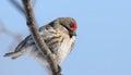 Female common redpoll bird carduelis flammea on a branch against blue sky Stock Photo