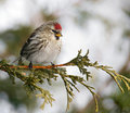 Female common redpoll in winter. Royalty Free Stock Photo