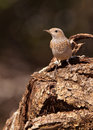 A female Common Rock Thrush Royalty Free Stock Images