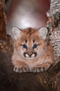 Female Cougar Kitten Puma concolor Stares Out From Tree