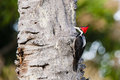 Female crimson crested woodpecker pecking a seen here foraging and a tree is distinguished from the linefeed by a wider Royalty Free Stock Photos
