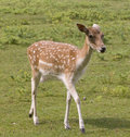 Female deer in countryside Stock Photography