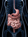 Female digestive system d rendered illustration of the Stock Photography