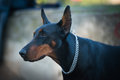 Female doberman pinscher portrait in the park Royalty Free Stock Photography