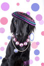 Female dog with jewels a dressed as a funky lady lots of Stock Image