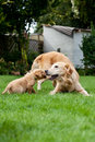 Female dog and puppy playing with her Royalty Free Stock Images