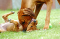 Female dog teaching puppy an african adult rhodesian ridgeback hound is her young to show submission to older dogs this image is Royalty Free Stock Photo