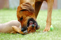 Female dog teaching puppy an african adult rhodesian ridgeback hound is her young to show submission to older dogs this image is Stock Photography