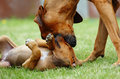 Female dog teaching puppy softly an african adult rhodesian ridgeback hound is her young to show submission to older dogs this Royalty Free Stock Photo
