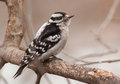 Female downy woodpecker a beautiful perches on a winter branch as it approaches a northern wisconsin feeding station Royalty Free Stock Image