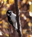 Female downy woodpecker on tree branch with coloured leaves in background Royalty Free Stock Images