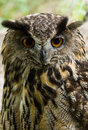 Female eagle owl - vertical image Stock Images