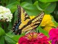 Female Eastern Tiger Swallowtail Butterfly on a red zinnia Royalty Free Stock Photo