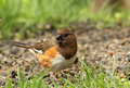 Female eastern towhee pipilo erythrophthalmus eating a seed Royalty Free Stock Images