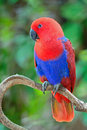 Female Eclectus parrot Royalty Free Stock Photo
