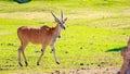 Female Eland Antelope Royalty Free Stock Photo