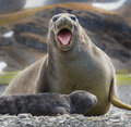 Female elephant seal with newborn screaming Royalty Free Stock Photo