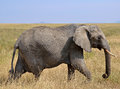 Female Elephant Walking in Dry Grass Stock Photography