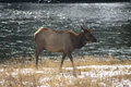 Female elk at dusk by yellowstone river Stock Image