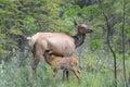 Female Elk nursing her fawn Royalty Free Stock Photo