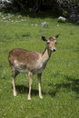 Female fallow deer pregnant in abruzzo national park Stock Photo