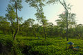 Female farmers harvesting at tea crop landscape Royalty Free Stock Photo