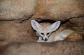 Female fennec fox curled up rock ledge Royalty Free Stock Images
