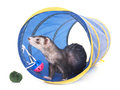 Ferret in studio Royalty Free Stock Photo